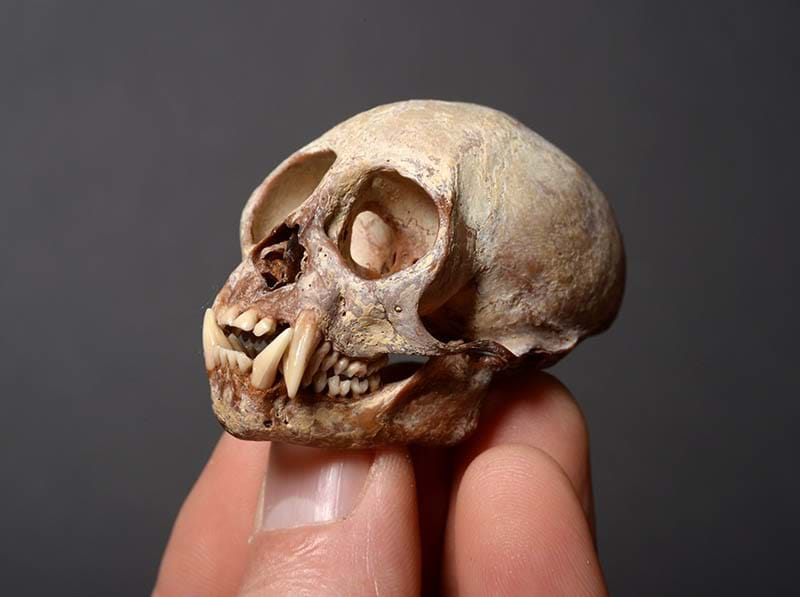 The Tinsley Skull Collection