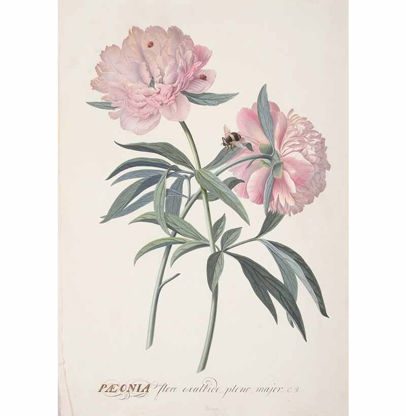 A Spectacular Collection of 18th & 19th Century Botanical Watercolours